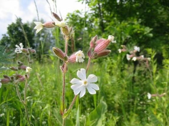Floarea-cucului (Melandrium album) indica solurile alcaline