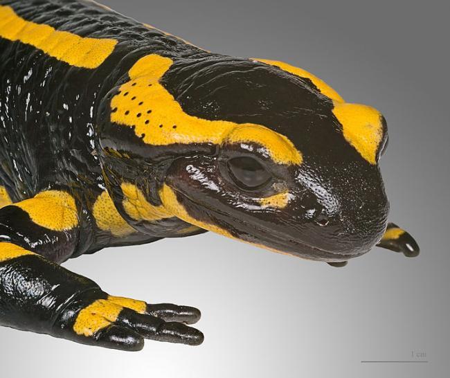 Via?a salamandrelor europene este amenin?at? de o ciuperc? misterioas?