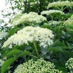 Florile de soc, benefice pentru sanatate: curata sangele de toxine si trateaza alergiile