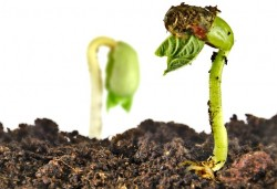 Plantele comunica intre ele, cu ajutorul ciupercilor din pamant