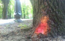 Macelarii teilor din Iasi lovesc din nou. Sute de arbori sanatosi, marcati pentru taiere.
