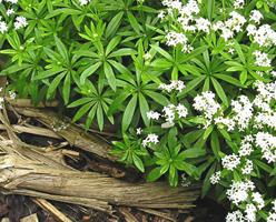 Plante periculoase dar cu putere de vindecare miraculoasa