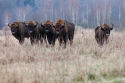 WWF-Romania si Rewilding Europe pregatesc cel mai mare eveniment de reintroducere de zimbri din Europa