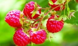 Zmeura, fructul tineretii vesnice