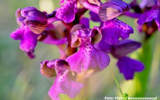 Flori disparute demult in Europa sunt hrana pentru vaci la noi. Orhideea romanesca, preferata printului Charles
