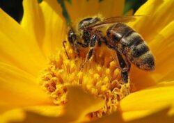 Noi dovezi: pesticidele cauzeaza disparitia albinelor si afecteaza alte specii