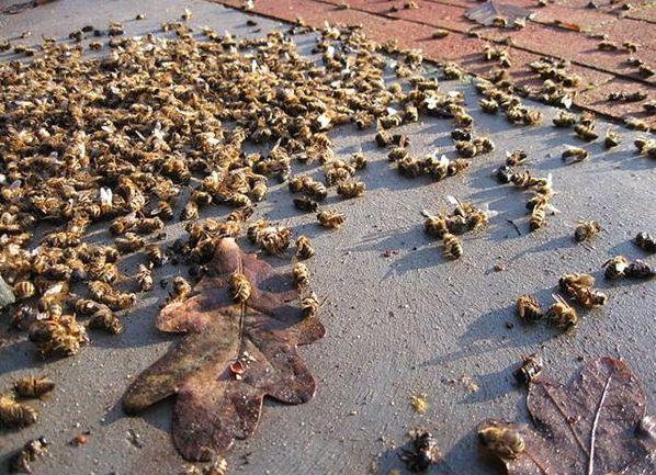 Milioane de albine moarte în trei localit??i din Boto?ani din cauza erbicidelor