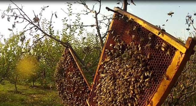 Albina sălbatică din Europa, pe cale de dispariție