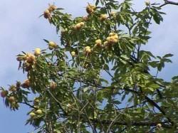 Maramures: Aproape 1.000 de hectare de castan comestibil, afectate de virsul cancerului de scoarta