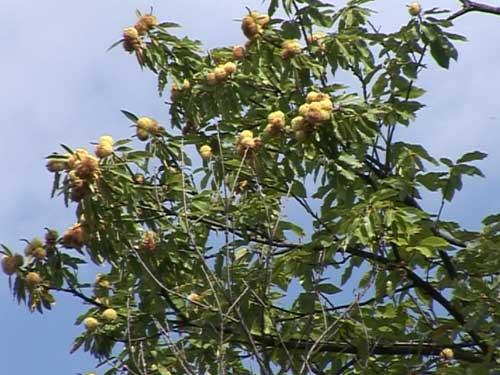 Ministerul Mediului a aprobat planul de management pentru Situl Natura 2000 si Rezervatia de castan comestibil Baia Mare