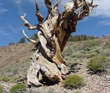 Care este cel mai b?trîn copac din lume?