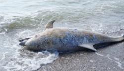 Patru delfini esuati, gasiti morti pe plaje