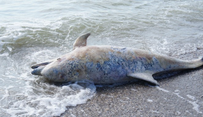 De la începutul anului ?i pân? în prezent 58 de delfini au fost g?si?i e?ua?i pe plaj?