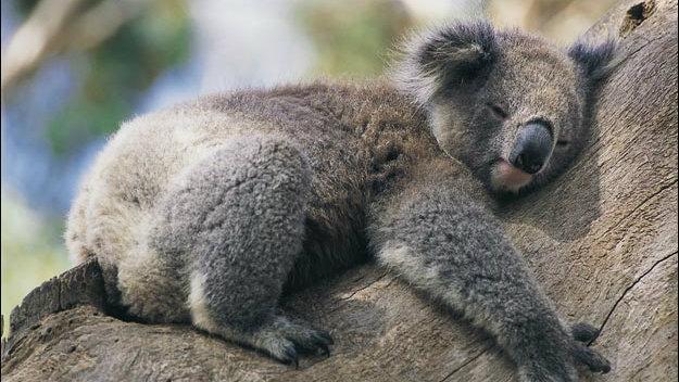 Motivul pentru care ur?ii koala îmbr??i?eaz? copacii