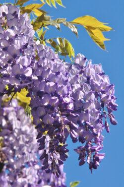Cele mai populare trei plante cataratoare
