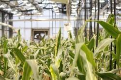 Alimentele modificate genetic: pro si contra?