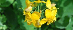 Rostopasca, planta care lupta cu hepatita si cancerul