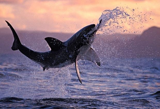 Marele rechin alb nu este în pericol de dispari?ie
