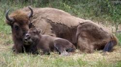 S-a nascut primul pui de zimbru care va trai in salbaticie in Romania