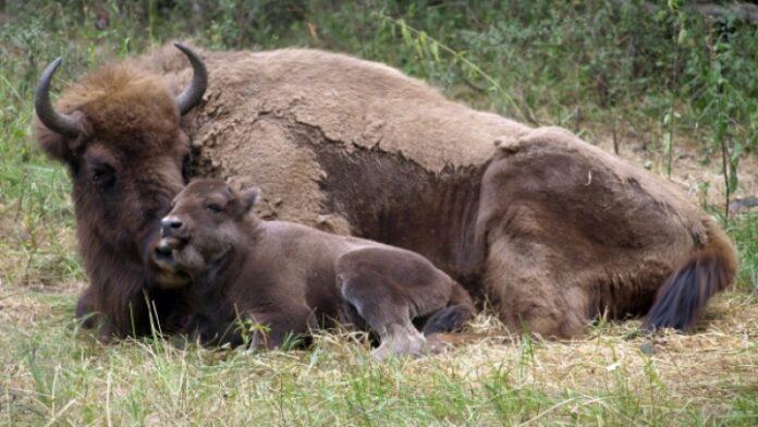 Boala limbii-albastre omoar? zimbrii din Rezerva?ia Ha?eg-Slivu?. Num?rul animalelor protejate s-a înjum?t??it