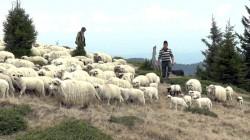 Transhumanta, pe cale de disparitie in localitatile pastoresti din Valcea