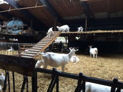 Afacere bio de succes: Ferma de capre