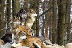 Proasta imagine a lupului va fi imbunatatita pe bani europeni