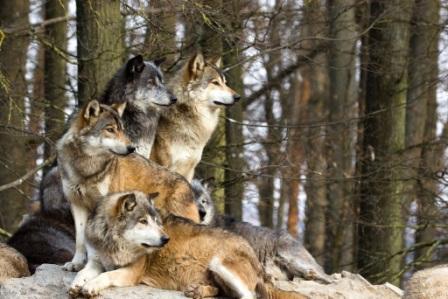 Proasta imagine a lupului va fi îmbun?t??it? pe bani europeni