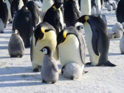 Pinguinii imperiali, amenintati de incalzirea Antarcticii