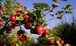 Pomicultorii din Radaseni infiinteaza anual cate 5-10 hectare de livezi