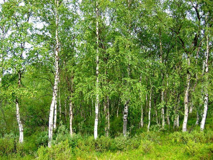 Beneficiile frunzelor de mesteacan
