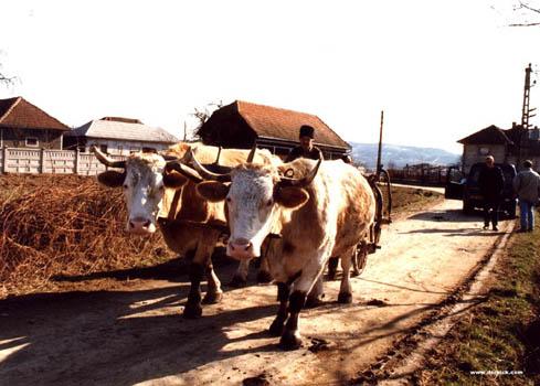 Boii utilizati pe scara larga la muncile grele