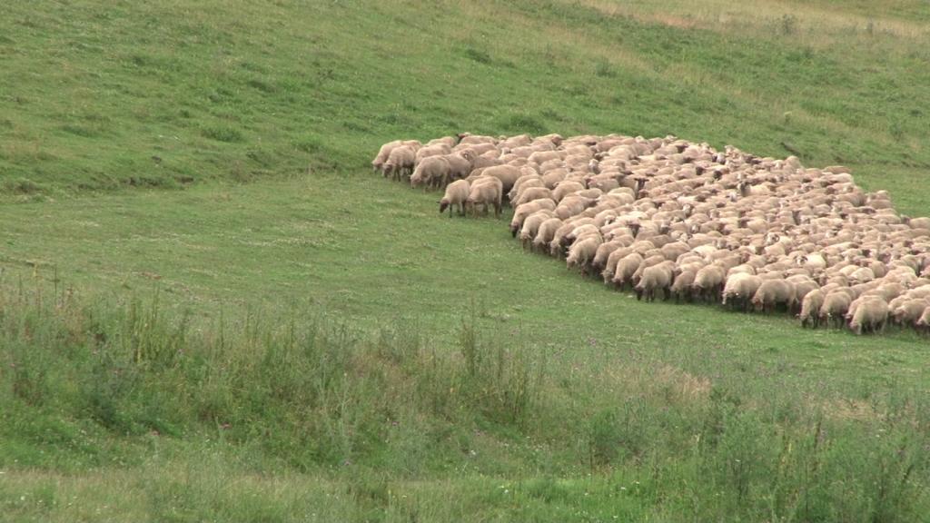 Bani de la UE pentru romanii care cresc oi merinos, vaci din rasa sura de stepa sau porci mangalita