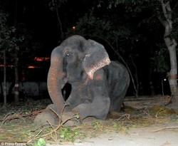 Un elefant a plans dupa ce a fost eliberat