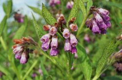 Tataneasa, o planta benefica pentru regenerarea pielii