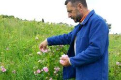 La ferma Ecologica Topa, straini invata sa faca dulceata de trandafiri