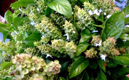 Busuiocul, planta aromatica cu multiple avantaje pentru sanatate