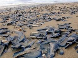 Invazia unor bizare creaturi marine, aparute peste noapte pe plaja. Ce spun specialistii?