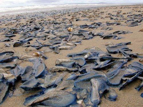 Invazia unor bizare creaturi marine, ap?rute peste noapte pe plaj?. Ce spun speciali?tii?