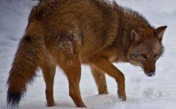 Incalzirea globala creeaza o specie de hibrizi intre lup, coiot si caine care incepe sa se inmulteasca in SUA