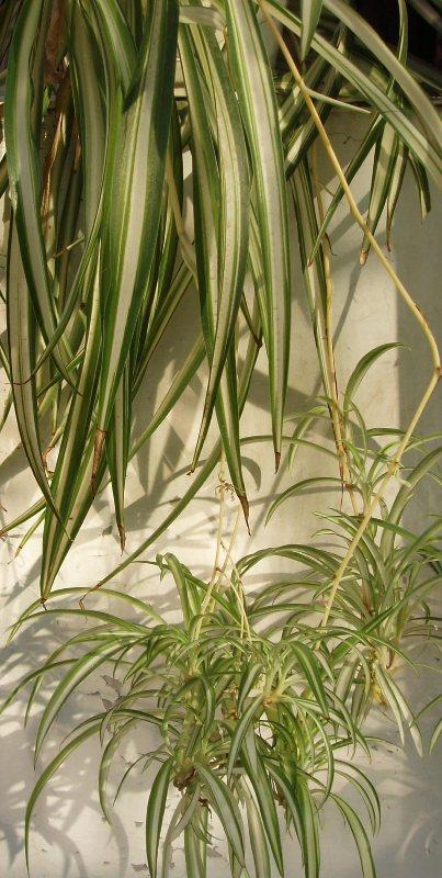Planta paianjen, purifica natural aerul din casa