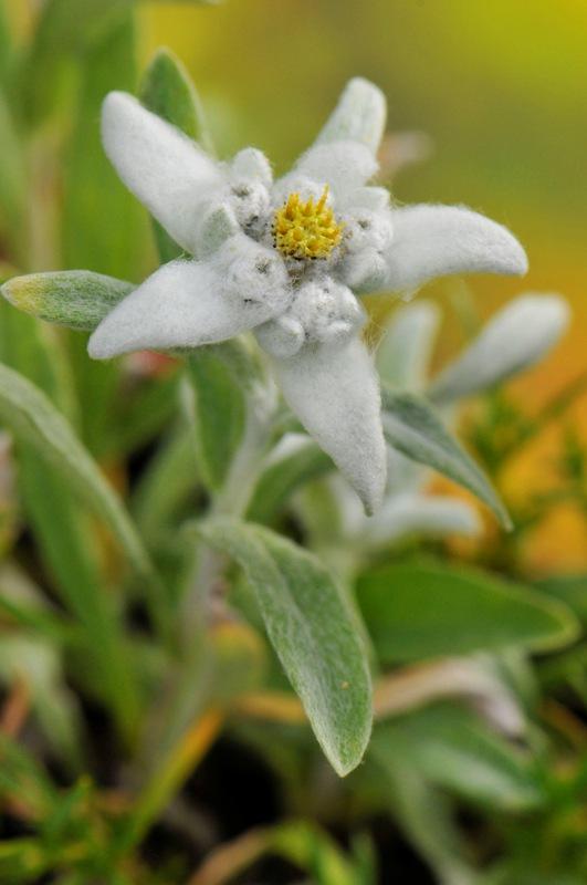 Floarea-de-col?, regina Carpa?ilor