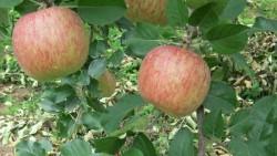 Incalzirea climatica schimba gustul merelor