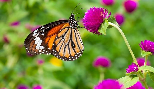 Efectul organismelor modificate genetic: fluturii Monarh, de la 1 miliard de exemplare, mai num?r? doar 35 de milioane