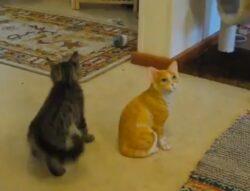 In fiecare an, pe 8 august, se sarbatoreste Ziua Internationala a Pisicilor