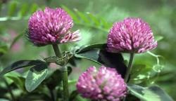 Trifoiul rosu, util in detoxifierea organismului