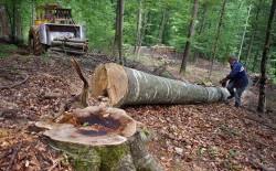 Cum exploateaza masa lemnoasa cea mai mare companie forestiera din tara noastra . Cum inchid Autoritatile ochii iar anchetatorii le dau concursul !