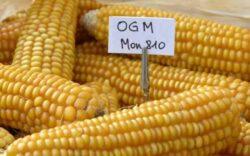 Organismele modificate genetic – le consumam zilnic, cu efecte dezastruoase asupra sanatatii