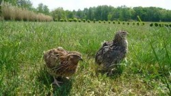 Lipsa de furaje ecologice impiedica certificarea crescatorilor de prepelite