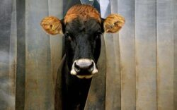 O vaca gratis daca te muti la tara si tot degeaba